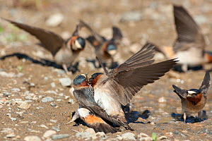 American Cliff Swallows (Petrochelidon pyrrhonota) forced copulation attempt at muddy puddle where they are gathering mud as nesting material. Mono Lake Basin, California, USA, June. - Marie Read
