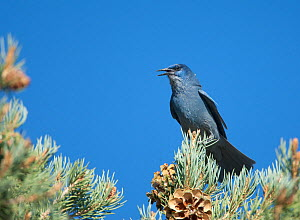 Pinyon Jay (Gymnorhinus cyanocephalus) calling from Pinyon Pine. Mono Lake Basin, California, USA, October.  -  Marie Read