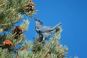 Pinyon Jay (Gymnorhinus cyanocephalus), gathering Pinyon Pine seeds in autumn. Mono Lake Basin, California, USA, October.  -  Marie Read