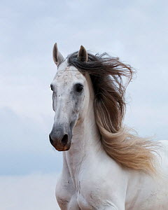 Portrait of a grey Andalusian stallion, in Ciutadella, Menorca, Spain.  -  Kristel Richard