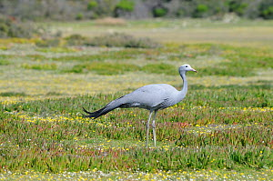 Blue / Stanley Crane (Anthropoides paradiseus). deHoop nature reserve, Western Cape, South Africa, August. - Tony Phelps