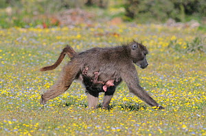 Chacma Baboon (Papio hamadryas ursinus) mother carrying youngster slung underneath. deHoop nature reserve, Western Cape, South Africa, September. - Tony Phelps