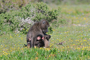 Chacma Baboon (Papio hamadryas ursinus) mother with one week old infant. deHoop nature reserve, Western Cape, South Africa, September. - Tony Phelps