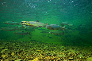 Atlantic Salmon (Salmo salar) in pool on upstream spawning migration. Quebec, Canada, August. - Michel Roggo