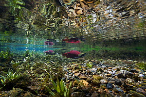 Sockeye / Red Salmon (Oncorhynchus nerka) on spawning migration. Adams River, British Columbia, Canada, October. - Michel Roggo
