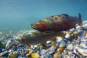 Rainbow Trout (Oncorhynchus mykiss), on spawning ground. Male approaching female to spawn. Lichtensteiner Binnenkanal, tributary of the Rhine River, Lichtenstein, January.  -  Michel Roggo