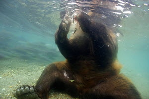 Brown bear (Ursus arctos) seen from underwater, fishing for Sockeye salmon, Ozernaya River, Kuril Lake, South Kamchatka Sanctuary, Russia, August  -  Michel  Roggo