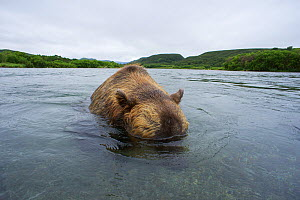 Brown bear (Ursus arctos) with its head underwater whilst fishing for sockeye salmon in the Ozernaya River, Kuril Lake, South Kamchatka Sanctuary, Russia  -  Michel  Roggo