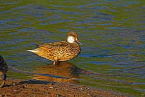 White-cheeked Pintail (Anas bahamensis) standing in water. Floreana, Galapagos Islands.  -  Mike Wilkes