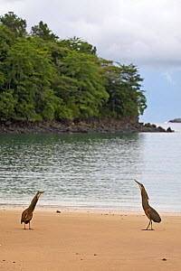 Bare-throated Tiger-Heron (Tigrisoma mexicanum) Pair in display, Coiba National Park, Coiba Island, Panama, September  -  Ben Lascelles