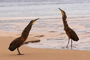 Bare-throated tiger-heron (Tigrisoma mexicanum) pair displaying, Coiba National Park, Coiba Island, Panama, September  -  Ben Lascelles