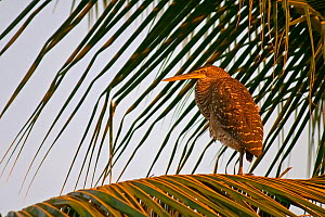 Bare-throated Tiger-Heron (Tigrisoma mexicanum) juvenile on palm, Coiba National Park, Coiba Island, Panama, April  -  Ben Lascelles