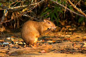 Coiban Agouti (Dasyprocta coibae) eating, Coiba Island National Park, Panama, September, Vulnerable species - Ben Lascelles