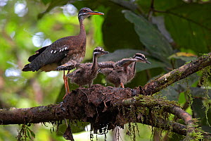 Sunbittern (Eurypyga helias) adult at nest with chicks stretching their wings, Sobernia National Park, Panama, August  -  Ben Lascelles