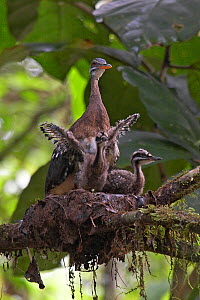 Sunbittern (Eurypyga helias) at nest, with chicks exercising wings, Soberania National Park, Panama, August  -  Ben Lascelles