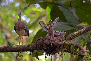 Sunbittern (Eurypyga helias) at nest with chicks exercising wings, Soberania National Park, Panama, August  -  Ben Lascelles