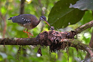 Sunbittern (Eurypyga helias) feeding young chick at nest, Soberania National Park, Panama, August  -  Ben Lascelles