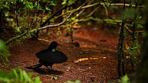 Wahnes's Parotia (Parotia wahnesi) adult male performs ballerina display.  This is the moment of flashing the breast shield upward, Papua New Guinea. NB REPRODUCTION SIZE RESTRICTION - screen grab fro...  -  Tim Laman/Nat Geo Image Collection