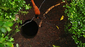 A male Wahnes's Parotia (Parotia wahnesi) preforming ballerina dance with a female watcHing from above. Papua New Guinea  NB REPRODUCTION SIZE RESTRICTION - screen grab from video  -  Tim Laman/Nat Geo Image Collection