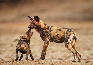 African Wild Dog (Lycaon pictus) submissive begging by a pup, Mana Pools National Park, Zimbabwe, October 2012 - Tony Heald