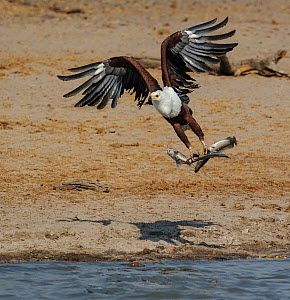 African Fish Eagle (Haliaeetus vocifer) flying with two Catfish prey in talons, Hwange National Park, Zimbabwe October 2012 - Sharon Heald