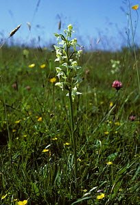 Butterfly Orchid (Anacamptis coriophora) among meadow flowers. Dartmoor National Park, UK, August.  -  Andrew Cooper