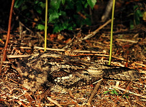Nightjar (Caprimulgus europaeus) feeding two chicks. Devon, UK. - Andrew Cooper