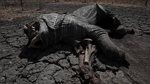 African elephant (Loxodonta africana) killed by poachers with tusks hacked from skull, lying on parched earth, Zakouma National Park, Chad, 2010.  -  Jabruson Motion