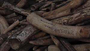 Close-up of a pile of confiscated African elephant (Loxodonta african) ivory, Zakouma National Park, Chad, 2010. - Jabruson Motion
