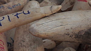 Panning shot along tusk of an African elephant (Loxodonta africana) in an ivory stockpile,  showing cracks and writing on ivory, Zakouma National Park, Chad, 2010.  -  Jabruson Motion