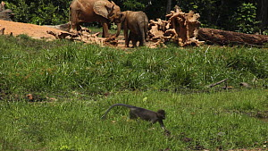 Agile mangabey (Cercocebus agilis) troop and African forest elephants (Loxodonta africana cyclotis) in clearing, Bai Hokou, Dzanga-Ndoki National Park, Central African Republic, 2012. - Jabruson Motion
