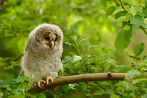 Ural Owl (Strix uralensis) chick perched on branch, Nanyo, Yamagata, Tohoku Region, Honshu, Japan, May - Aflo