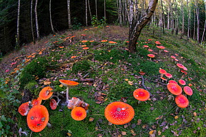 Fly Agaric (Amanita muscaria) toadstools in woodland, Germany, October  -  Hermann Brehm