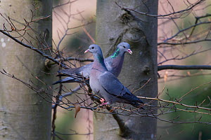 Stock Dove (Columba oenas) pair perched on branches, Germany, March  -  Hermann Brehm
