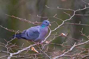 Stock Dove (Columba oenas) perched on bare branches, Germany, March  -  Hermann Brehm