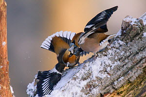 Hawfinches (Coccothraustes coccothraustes) fighting, Germany, February  -  Hermann Brehm