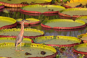 Striated Heron (Butoriodes striatus) on Giant water Lily, Pantanal, Brazil - Hermann Brehm