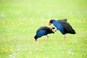 Pukeko (Porphyrio porphyrio melanotus) attempting to mate. Christchurch, New Zealand, October.  -  Andrew Walmsley