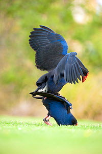 Pukeko (Porphyrio porphyrio melanotus) pair mating. Christchurch, New Zealand, October. Sequence 3 of 3.  -  Andrew Walmsley