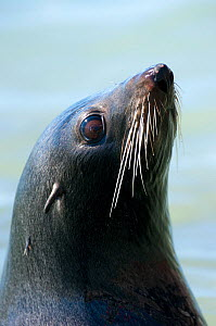 New Zealand Fur Seal (Arctocephalus forsteri) head portrait. Kaikoura, New Zealand, October.  -  Andrew Walmsley