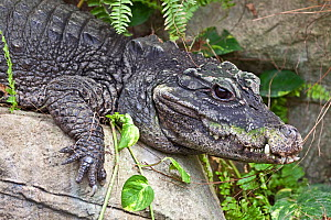 West African Dwarf Crocodile (Osteolaemus tetraspis) Captive, from West Africa,  Vulnerable. - Rod Williams
