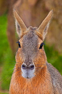 Patagonian Cavy / Mara (Dolichotis patagonum) portrait. Captive. Endemic to southern South America. - Rod Williams