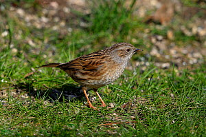 Dunnock (Prunella modularis). West France, December.  -  Loic Poidevin