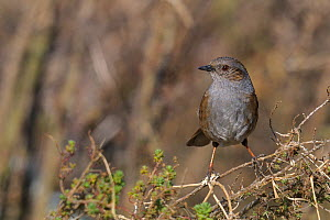Dunnock (Prunella modularis) perched. West France, December.  -  Loic Poidevin