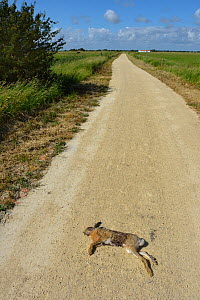 Brown Hare (Lepus europaeus) road kill. Breton Marches, West France, June 2012. - Loic Poidevin