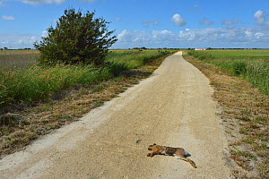 Brown Hare (Lepus europaeus) road kill. Breton Marches, West France, - Loic Poidevin
