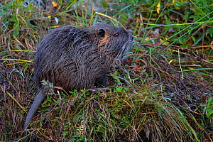 Coypu / River Rat (Myocastor coypus). Breton March, West France, September. - Loic Poidevin