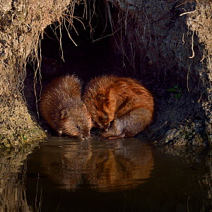 Muskrats (Ondatra zibethicus) grooming at their hole by water. Breton Marsh, West France, September. - Loic Poidevin