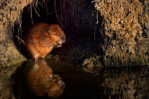 Muskrat (Ondatra zibethicus) feeding at hole bt water. Breton Marsh, West France, September.  -  Loic Poidevin