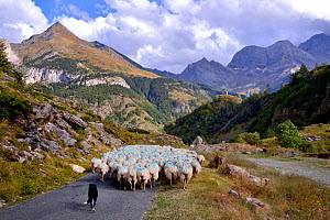 Sheep (Ovis aries) flock in mountain landscape, being herded by sheepdog along road. Ossoue valley, French Pyrenees, September.  -  Loic Poidevin
